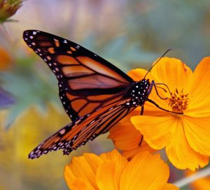 Monarch_Butterfly_(6235522618)